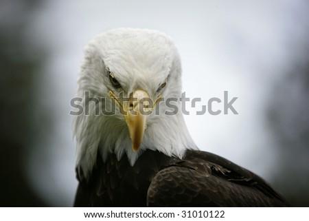 Bald eagle head front - photo#11