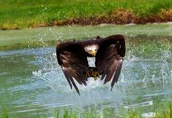 bald eagle hunting in the lake