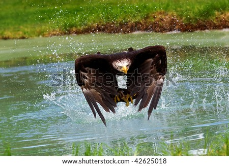 bald eagle hunting in the lake