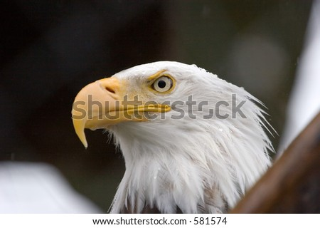 Bald Eagle in Alaska - stock photo