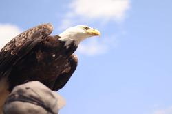 bald eagle in bird show
