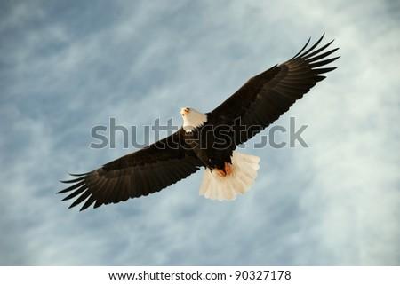 Bald eagle in flight awaiting fish feeding. USA, Alaska, Chilkat Bald Eagle Preserve, Bald eagle (Haliaeetus leucocephalus)