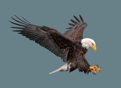 Bald eagle in flight on isolated background