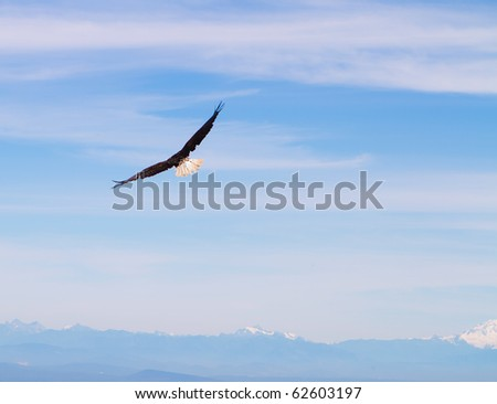 Bald Eagle in flight over the Canadian Rocky Mountains in the blue sky.