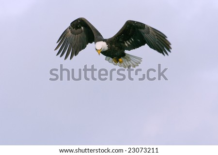 bald eagle in flight ready to swoop down and catch a fish - stock photo