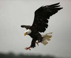 Bald Eagle in flight showing his talons