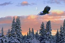 Bald Eagle in flight soaring in midair over winter forest with colorful sunset and half moon showing in the sky.