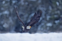 Bald eagle in flight with open wings. Bald Eagle, Haliaeetus leucocephalus, flying brown bird of prey with white head, yellow bill, symbol of freedom of the United States of America.