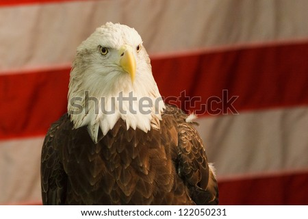 Bald Eagle in front of American Flag