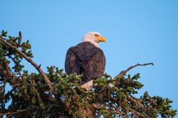 Bald Eagle in Haines Alaska