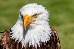 Bald Eagle in portrait. Birds of Prey Centre, Coledale, Alberta, Canada