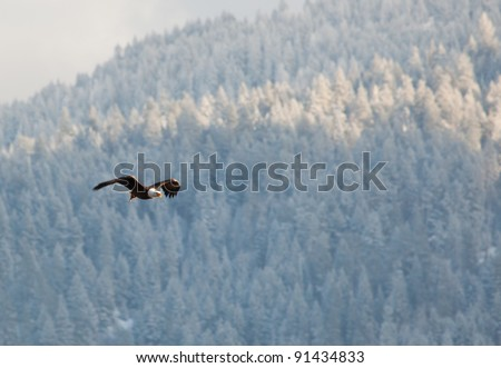 Bald eagle in the air flying over the lake in coeur d alene Idaho