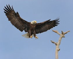 Bald Eagle Incoming Landing On A Perch