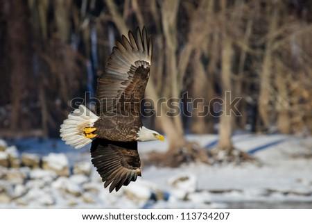 Bald Eagle Intensity