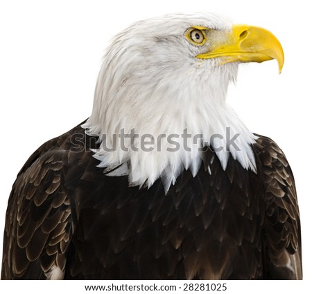 Bald eagle isolated on a white background