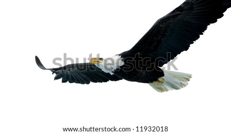 Bald Eagle isolated on white