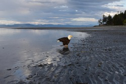 Bald eagle just before sunset on Kye Beach in Courteney/Comox B.C., Canada.