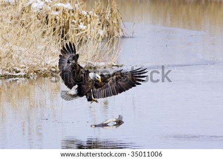 Bald Eagle landing on a log.