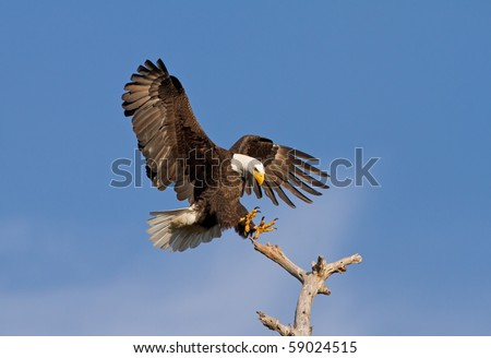 Bald Eagle Landing on Dead Tree