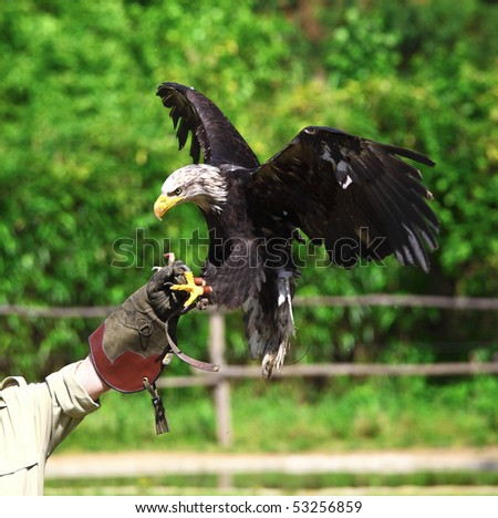 bald eagle landing on falconer glove