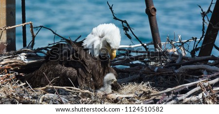 Bald Eagle mother looks down at white fluffy and fuzzy Bald Eagle eaglet only a couple of days out of the egg.