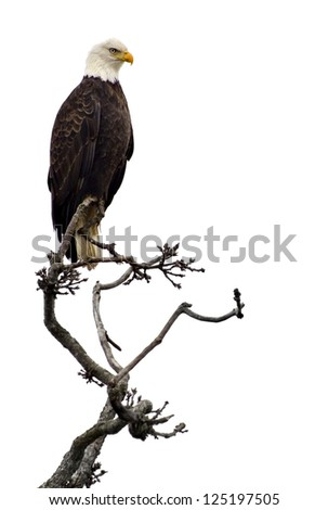 Bald eagle on a tree branch, isolated on white.