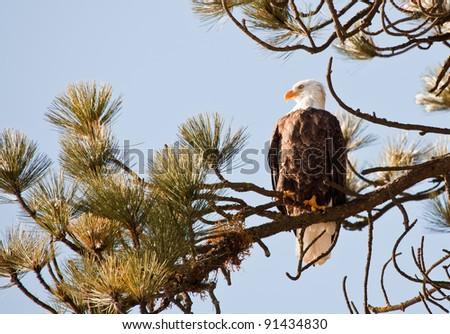 Bald eagle on a tree in coeur d alene idaho, mid december