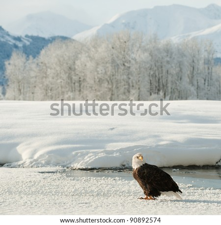 Bald Eagle on snow. An Bald eagle on snow at bottom of mountains. Winter. Alaska. USA