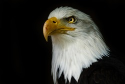 Bald eagle on the black wallpaper. National american prey bird. Portrait white-tailed eagle.
