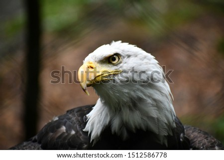 Bald Eagle peers through your soul. #1512586778