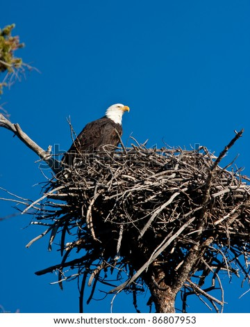 Bald eagle perch on is nest