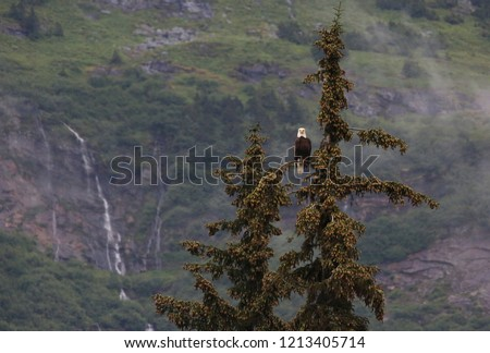 Bald eagle perched high in pine tree in Alaska, with a tree covered mountain side backdrop.