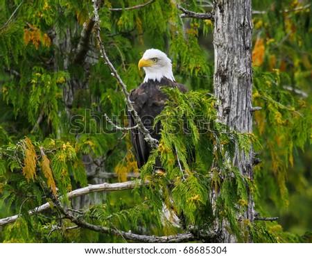 Bald Eagle perched in tree, Misty Fjords, Alaska