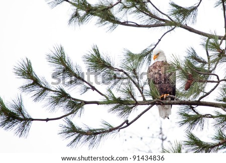 Bald Eagle perched on a tree in coeur d alene idaho mid december