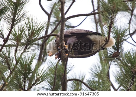 Bald Eagle perched on a tree in coeur d alene idaho mid december eating a fresh fish