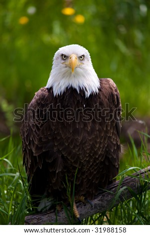 bald eagle perched on branch close up