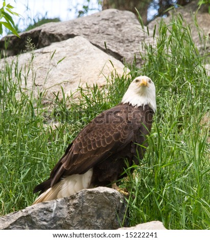 Bald Eagle perched on rocks among the grass