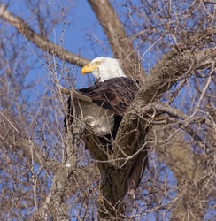 Bald Eagle sitting in a tree with fish he just caught