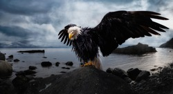 Bald Eagle sitting on a rock with Wings Wide Open on the Pacific Ocean Coast during a dramatic cloudy evening. Composite. Landscape from Vancouver Island, British Columbia, Canada.