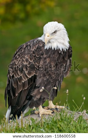 bald eagle sitting on rock in front of green shrubs