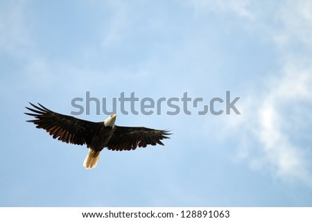 Bald eagle soaring with copy space in the blue sky area