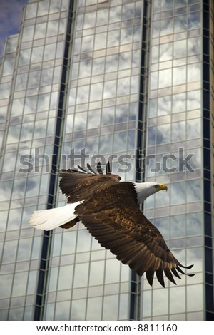 bald eagle soaring with glass building reflection