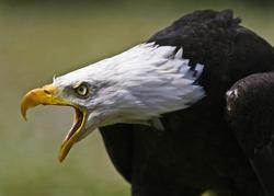 Bald Eagle Squawking