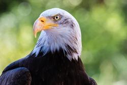 Bald Eagle - the national emblem of the United States