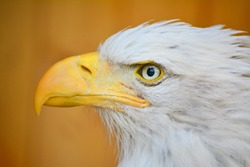 Bald Eagle white and black bird. His beak is yellow.