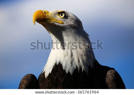 Stock Photo Bald Eagle with blue sky