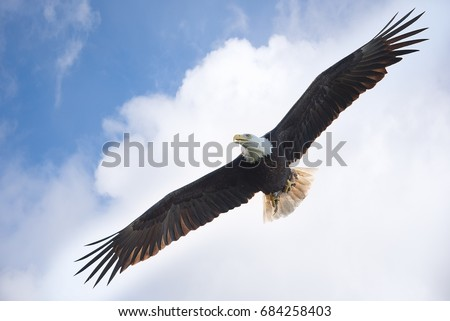 Bald eagle with food in claws with cloud background as the natural eye would view the scene