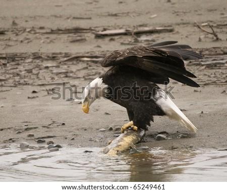 Bald Eagle with salmon - stock photo