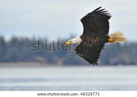 bald eagle with soft light flying over alaska kenai peninsula shoreline
