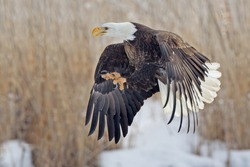 Bald eagle with talons extended